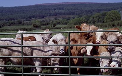 confined cattle cattle