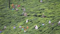 Tea production in South India