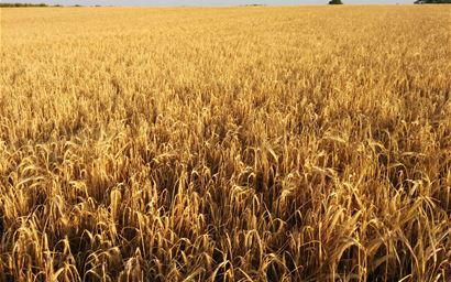 Wheat field, Berkshire, UK.