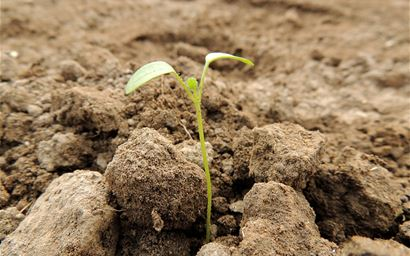 Seedling in soil.