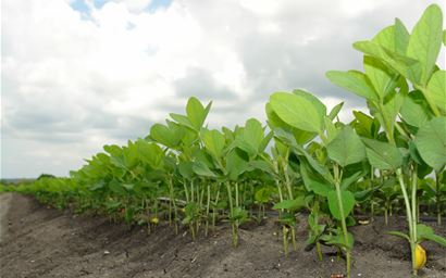Soybeans growing in the field