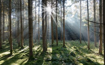Sun shining through spruce tree trunks in a coniferous forest