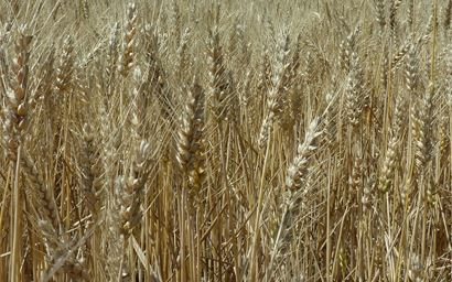 Field of wheat for harvest.