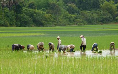 Planting rice seedlings by small-holder farmers in Cambodia (near Siem Reap)