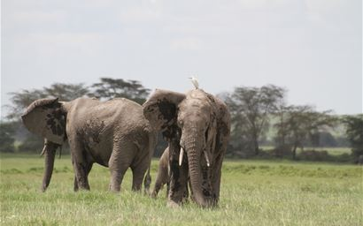 Elephants in Amboseli National Park