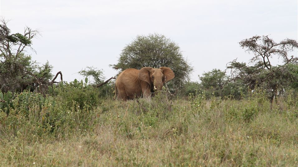 Elephants in Laikipia