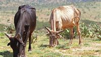 Cows with Opuntia Stricta cactus in Laikipia