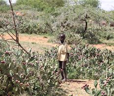 Masai boy with Opuntia Stricta in Laikipia