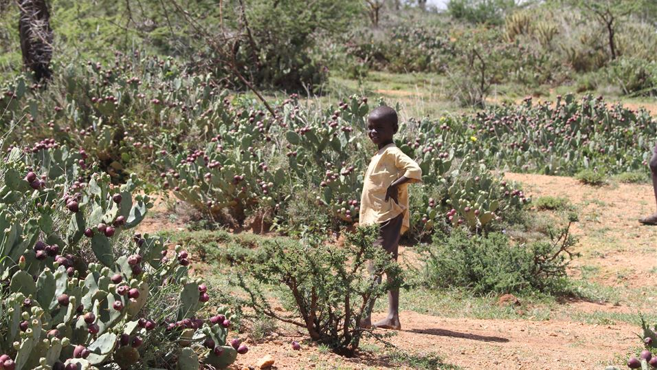 Masai boy surrounded by the invasive cactus Opuntia Stricta in Laikipia, Kenya