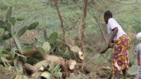 Ladies making a new fence from cactus in a village on Lake Baringo