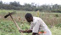 Farmer, George Achilla, clearing Parthenium from his field in the town of Gilgil, Kikopey, Kenya