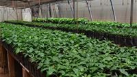 Weaning and hardening nursery for tissue culture coffee seedlings