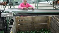 Fruit quality inspection by packhouse staff at avocado packhouse in Nelspruit, South Africa
