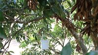 A fruit fly trap installed in a tree for monitoring of pest population
