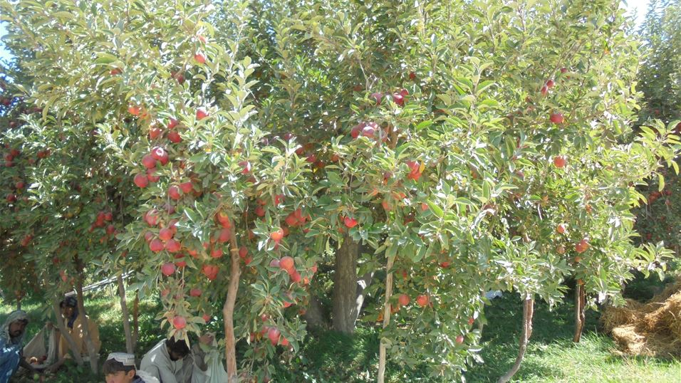 Apple tree in Quetta Balochistan