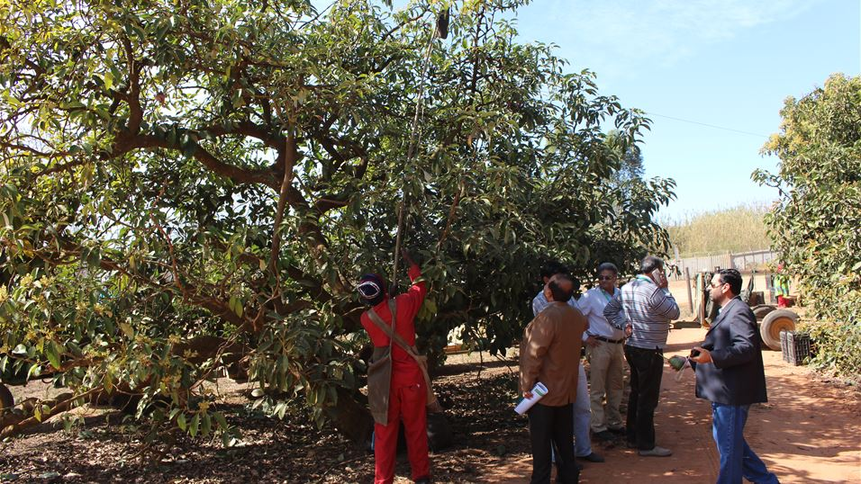 Harvesting of avocado fruit in an orchard in Nelspruit, South Africa