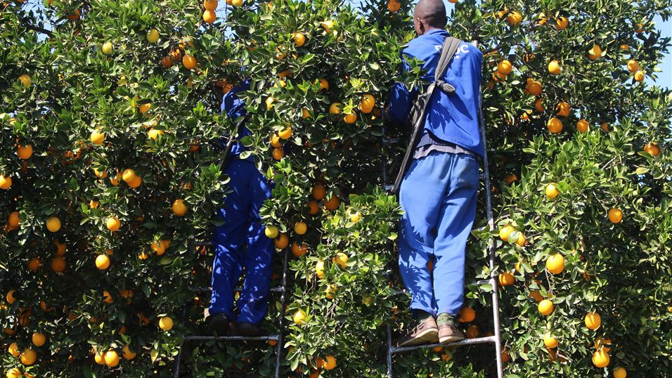 Citrus harvesting at Crocodile Valley Citrus Packhouse in Nelspruit, South Africa