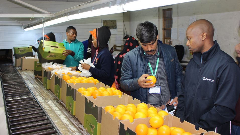 Fruit quality inspection by PPECB at a citrus packhouse in Nelspruit, South Africa