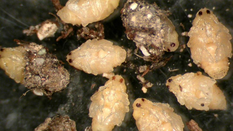 Cabbage seedpod weevil pupae.