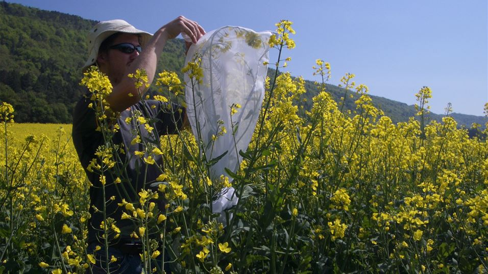 Mike Wogin setting up rearing colonies in the field