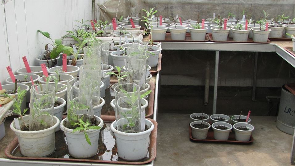 Test plants in the greenhouse for open-field test