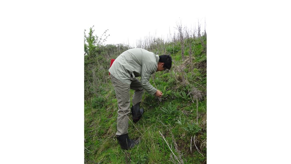 Huanhuan collecting pathogen material on Canada thistle in field