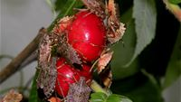 Brown marmorated stink bugs feeding on cherries