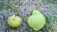 pears damaged by H. halys