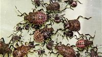 various nymphal instars of brown marmorated stink bug