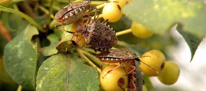 CABI leads fight against fruit and nut pest