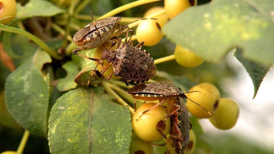 Brown marmorated stink bug adults