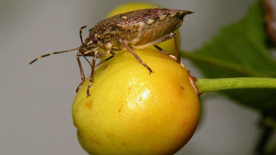 Brown marmorated stink bug feeding on cherry