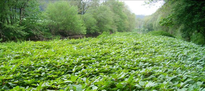 CABI releases rust fungus to control invasive weed, Himalayan balsam