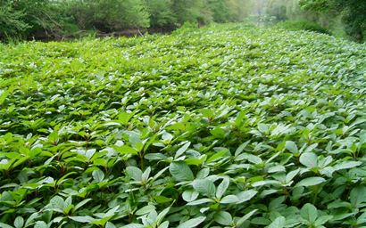 Himalayan balsam monoculture on the river Camel, Cornwall, UK
