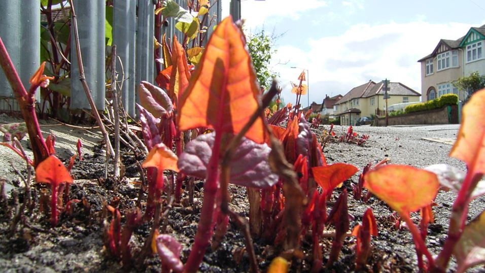 Japanese knotweed growing in High Wycombe