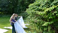 Suzy Wood and Kate Jones releasing mass reared  psyllids on JK stand August 2012