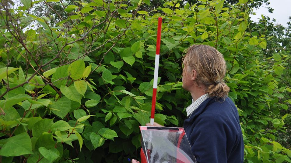 Researcher measures the height of knotweed at a monitoring site