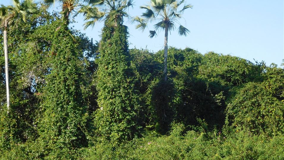1. Rubbervine infestation in Cruz, Brazil