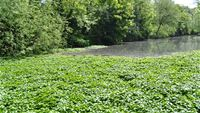 Floating pennywort invasion in the UK (London)