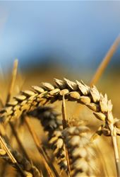 Wheat, Barley and Triticale Abstracts