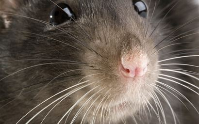 funny rat close-up portrait on white background