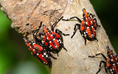 SLF-spotted lanternfly (Lycorma delicatula) 4th instar nymph (red body) in Pennsylvania, on July 20, 2018. USDA-ARS Photo by Stephen Ausmus.