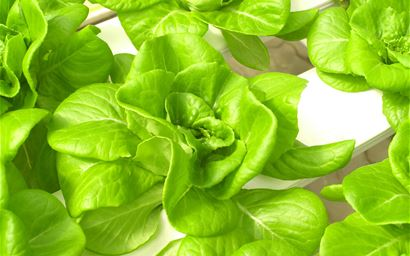 lettuces in hydroponics