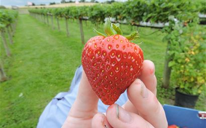 Hand holding a strawberry with strawberry bushes in the background