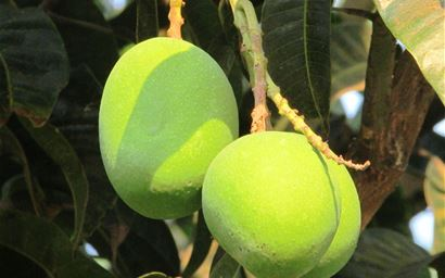 fresh mangoes on tree in India
