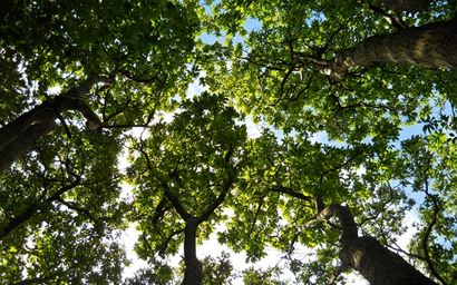 Looking up at the forest canopy.