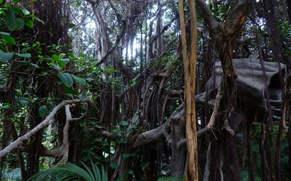 Lianas in a rainforest.