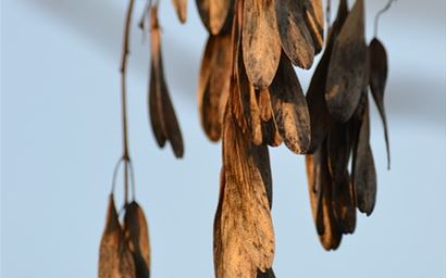close-up of mature ash seeds hanging from branch