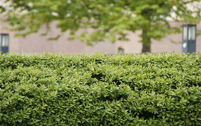 A hedge in an urban area.