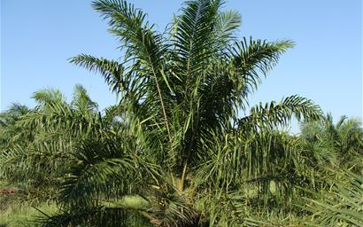 Oil palm growing in field